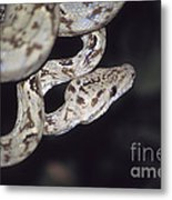 Coiled And Waiting Metal Print