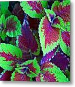Coleus Color Metal Print