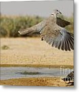 Collared Dove  Metal Print