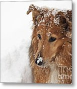 Collie In The Snow Metal Print