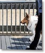 Collie Walk Metal Print