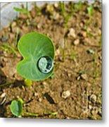 Colocasia Antiquorum Seedling And Water Droplet Metal Print