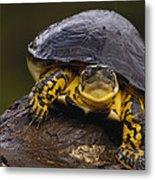 Colombian Wood Turtle Amazon Ecuador Metal Print