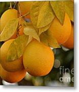 Super Bright Oranges On A Branch Metal Print
