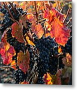 Colorful Autumn Grapes Metal Print