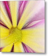 Colorful Clematis Metal Print