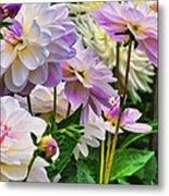 Colorful Dahlia Garden Metal Print
