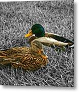Colorful Ducks Metal Print