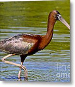 Colorful Glossy Ibis Metal Print