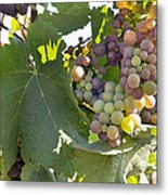Colorful Grapes Growing On Grapevine Metal Print
