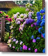 Colorful Hydrangea At The Gate. Giethoorn. Netherlands Metal Print
