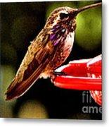 Colorful Juvenile Humingbird Metal Print