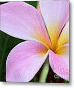 Colorful Pink Plumeria Flower Metal Print