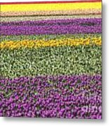 colorful tulips in Holland Metal Print