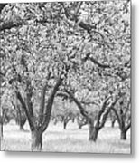 Colorless Cherry Blossoms Metal Print