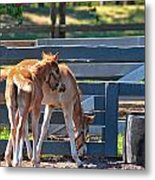 Colts At Play Metal Print