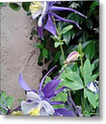 Columbines Exquisite Blooms Metal Print