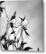 Columbines In Black And White Metal Print