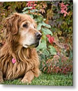 Comanche Autumn - Golden Retriever - Casper Wyoming Metal Print