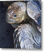Coming Out Of Shell Metal Print
