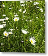 Coming Up Daisy's Metal Print
