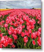 Commercial Tulip Field In Bloom Metal Print