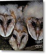 Common Barn Owl Chicks Tyto Alba Metal Print by Ron Sanford
