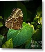 Common Blue Morpho Moth Metal Print