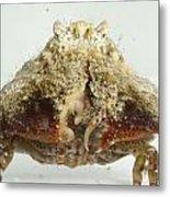 Common Box Crab Metal Print