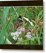 Common Buckeye Butterfly - Junonia Coenia Metal Print
