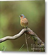 Common Chaffinch Metal Print