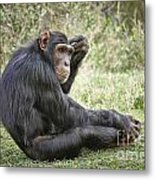 Common Chimpanzee  Pan Troglodytes Metal Print