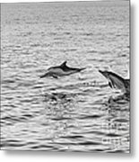 Common Dolphins Leaping. Metal Print