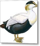 Common Eider Metal Print by Anonymous