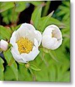Common Garden Peony (paeonia Lactiflora) Metal Print