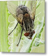 Common House Fly 0.9x Metal Print