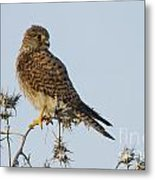 Common Kestrel Falco Tinnunculus 3 Metal Print