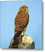 Common Kestrel Falco Tinnunculus  Metal Print