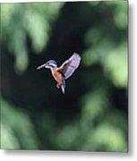 Common Kingfisher In Flight Metal Print