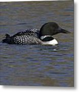 Common Loon 51 Metal Print