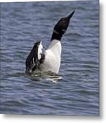 Common Loon 76 Metal Print