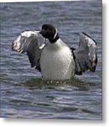 Common Loon 81 Metal Print