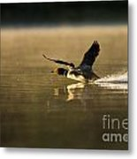 Common Loon Pictures 147 Metal Print