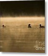 Common Loon Pictures 148 Metal Print
