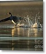 Common Loon Pictures 152 Metal Print