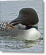 Common Loon With Food Metal Print