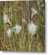 Common Milkweed Metal Print