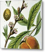 Common Peace Persica Vulgaris Metal Print