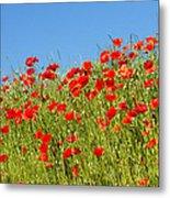 Common Poppy Flowers  Metal Print