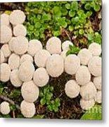 Common Puffball Mushrooms Lycoperdon Perlatum Metal Print